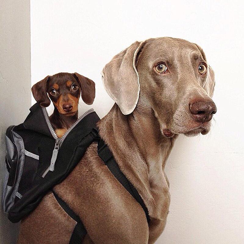 bffdogs11 Как животные становятся звездами интернета