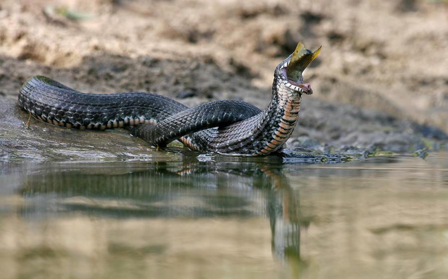 http://bigpicture.ru/wp-content/uploads/2013/11/snakefisher14.jpeg