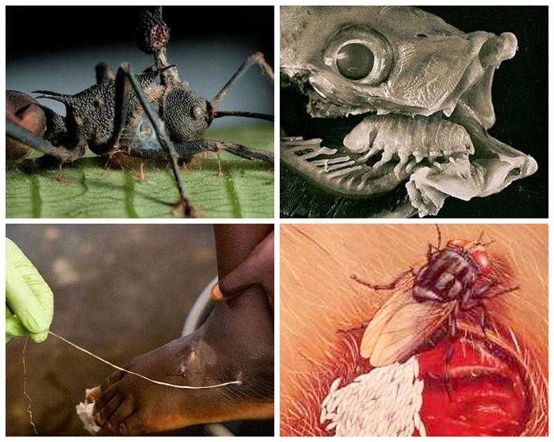 BIGPIC21 800x639 25 самых необычных и опасных паразитов