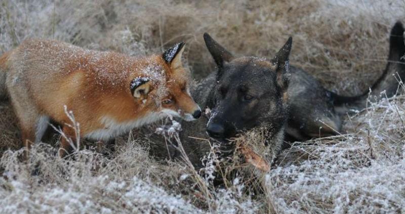 fox-n-dog01-800x530