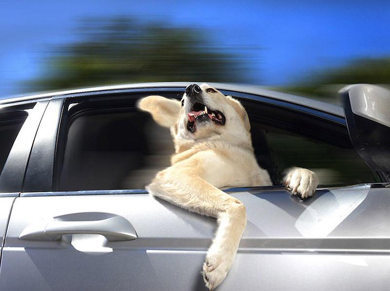 DogsInCars04 Собаки в машинах