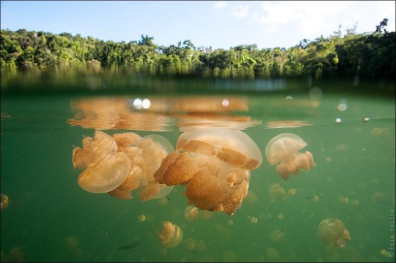 JellyfishLake01 800x531 30 фотографий озера, которое переполнено медузами