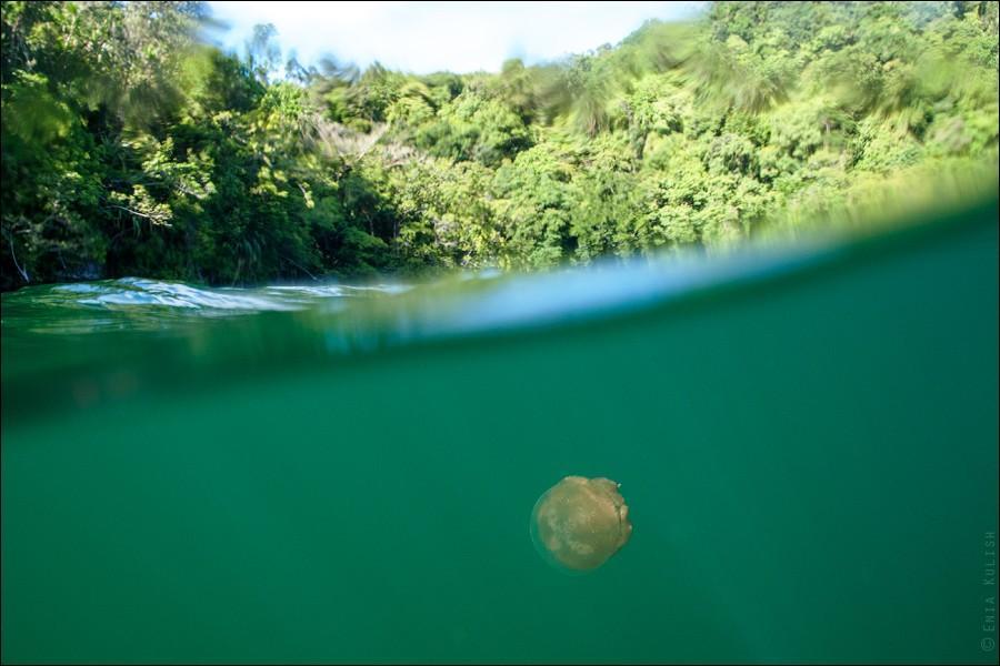 JellyfishLake17 30 фотографий озера, которое переполнено медузами