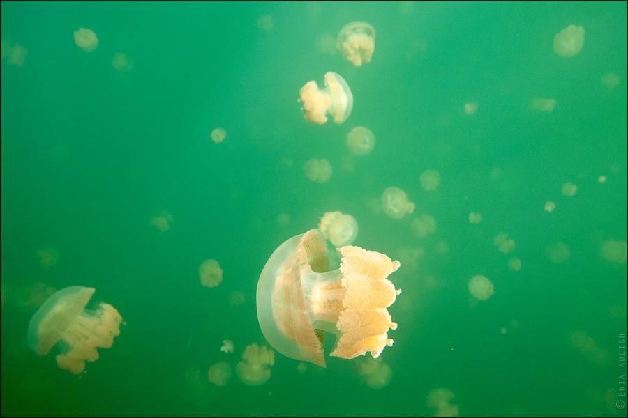 JellyfishLake18 30 фотографий озера, которое переполнено медузами