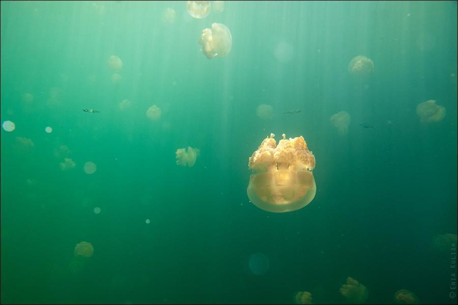 JellyfishLake19 30 фотографий озера, которое переполнено медузами