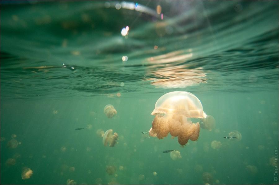 JellyfishLake33 30 фотографий озера, которое переполнено медузами