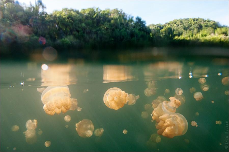 JellyfishLake35 30 фотографий озера, которое переполнено медузами