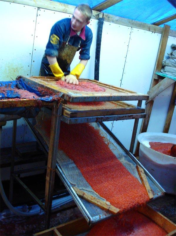 caviar06 Как делают красную икру