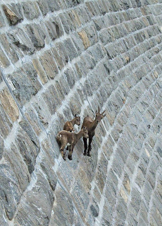crazygoats05 Козлы, которым не ведома боязнь высоты