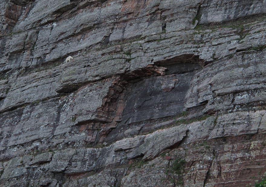 crazygoats07 Козлы, которым не ведома боязнь высоты