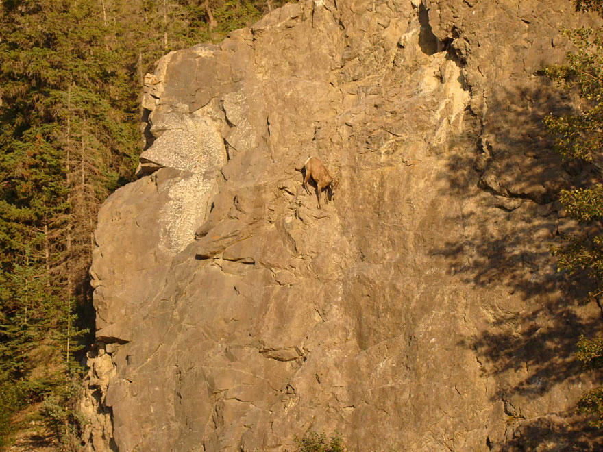 crazygoats09 Козлы, которым не ведома боязнь высоты