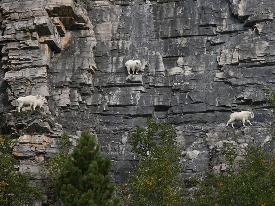 crazygoats10 Козлы, которым не ведома боязнь высоты