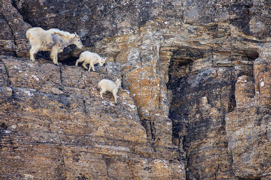crazygoats17 Козлы, которым не ведома боязнь высоты