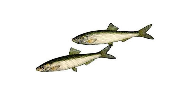 Кстати, тем, кто любит шпроты с икрой и пожирнее, советую обратить внимание на дату изготовления консервов: рыбка, выловленная осенью – самая жирная.