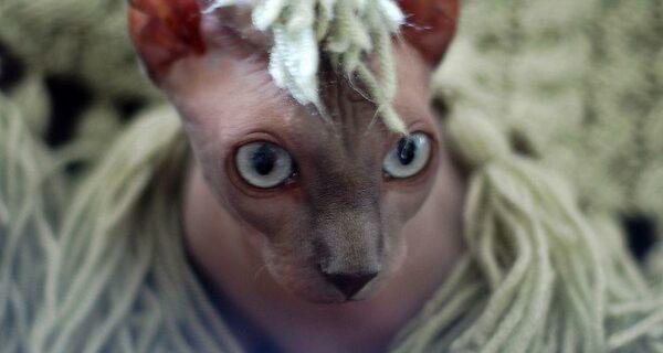 Очаровательные кошки породы сфинкс