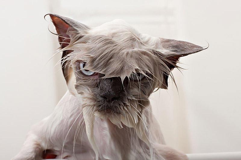 wetcats02 Невероятно забавные фото мокрых котиков