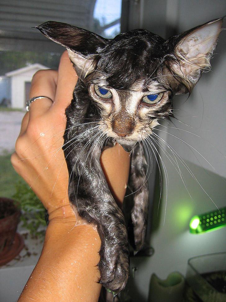 wetcats03 1 Невероятно забавные фото мокрых котиков