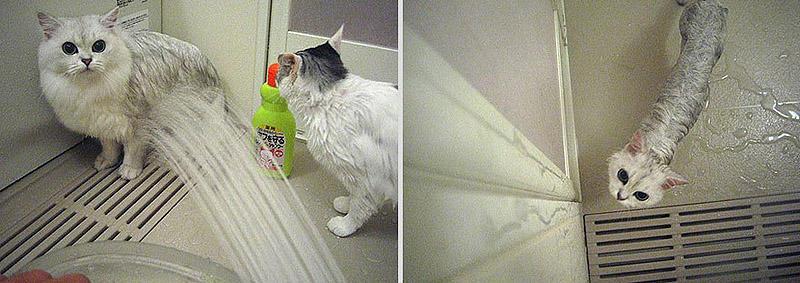 wetcats04 Невероятно забавные фото мокрых котиков