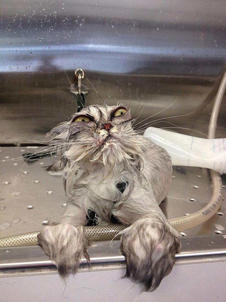 wetcats05 1 Невероятно забавные фото мокрых котиков