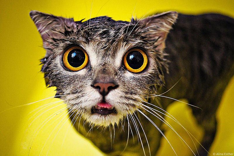 wetcats08 Невероятно забавные фото мокрых котиков