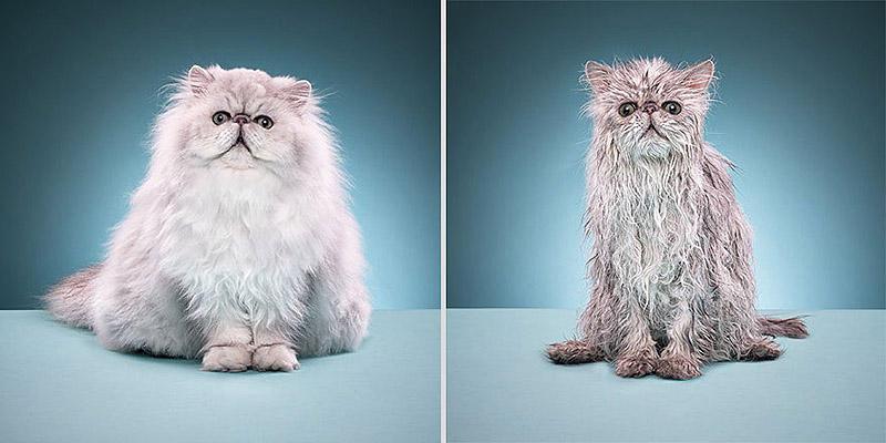 wetcats09 Невероятно забавные фото мокрых котиков