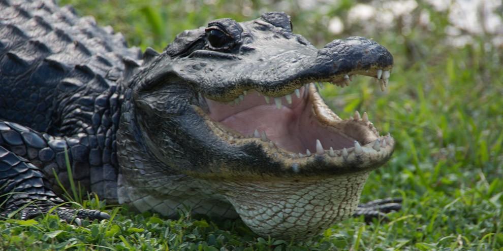 Выдра напала на аллигатора