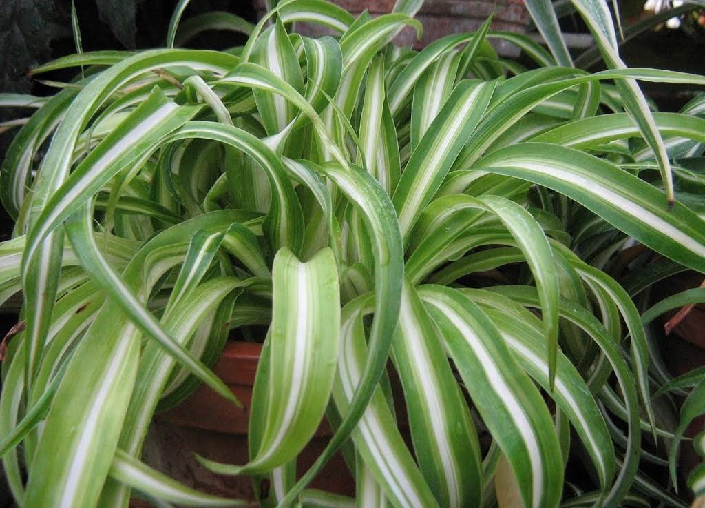 plants04 Комнатные растения, очищающие воздух