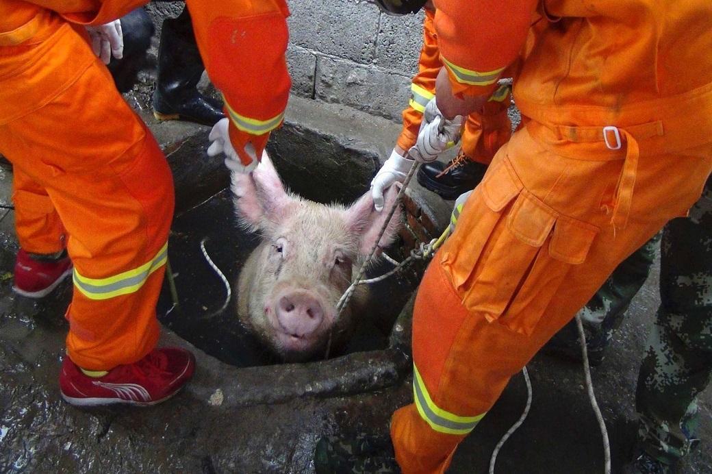 как спасти пылающих свиней меня