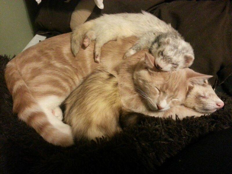 Ткань ситец, картинки хорьки и коты