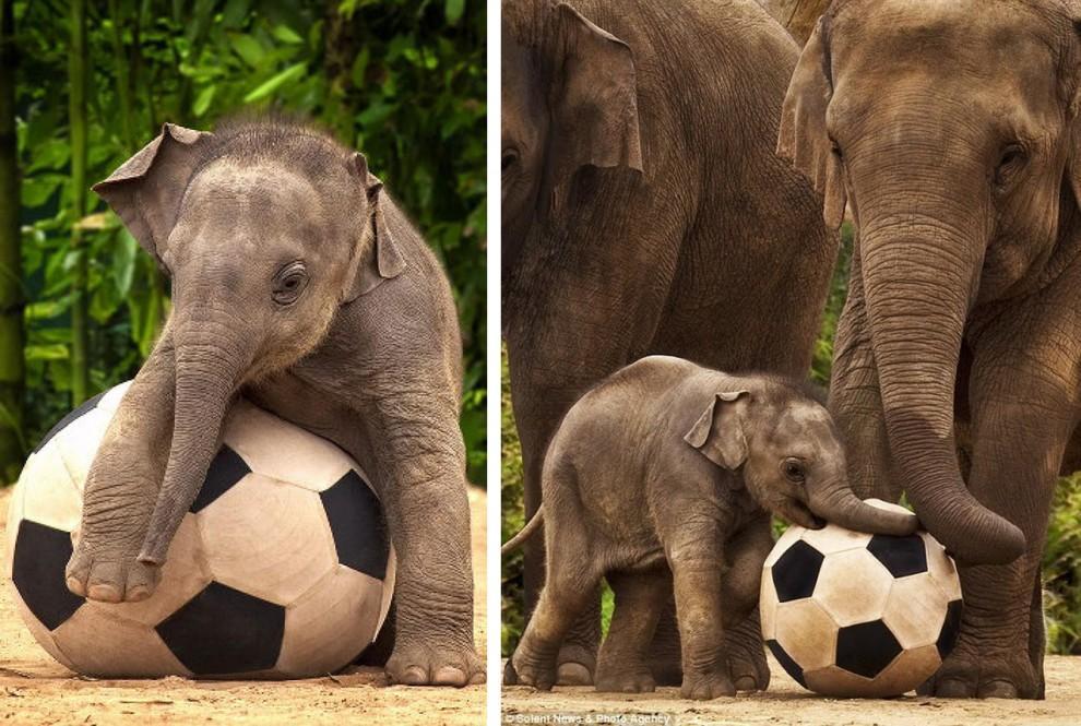 Слоненка по имени Лак Чай можно назвать австралийской знаменитостью. Во-первых, Лак Чай стал первым азиатским слоном, который родился на Зеленом Континенте. Во-вторых, слоненок, как оказалось, очень любит гонять мяч. Лак Чай играет в футбол под пристальным взглядом своей матери. Лак Чай стал любимцем австралийцев чуть ли не с первых дней жизни.
