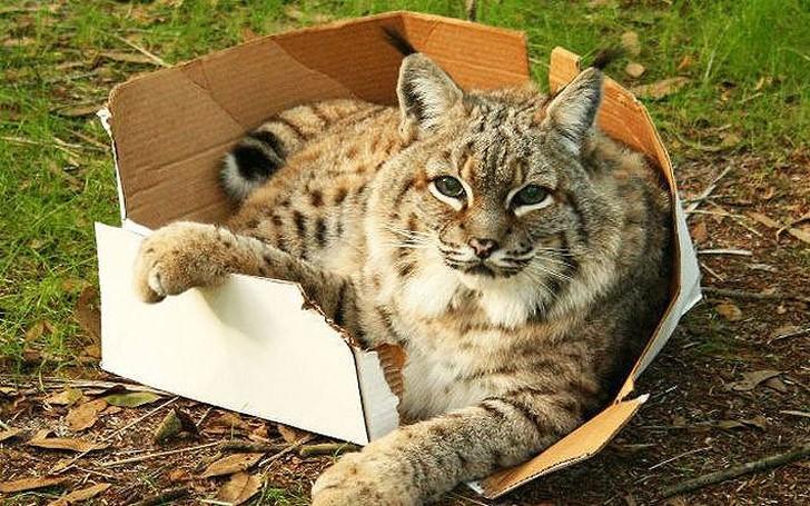 bigcatsinboxes01 Большие котики тоже любят коробки