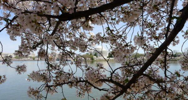 Фестиваль цветения сакуры в Вашингтоне