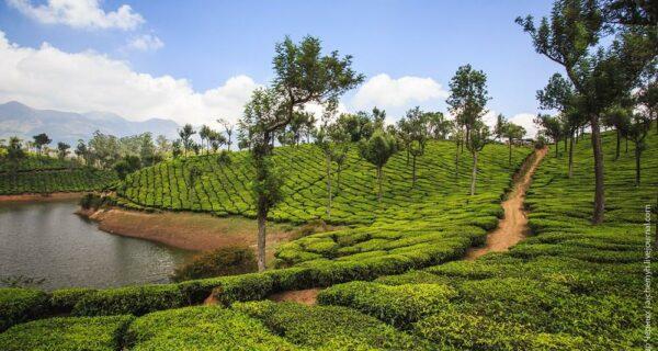 Индийские заметки: Чайные плантации Муннара