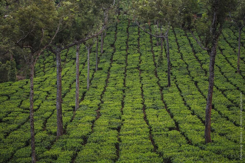 teaplantation11.jpg