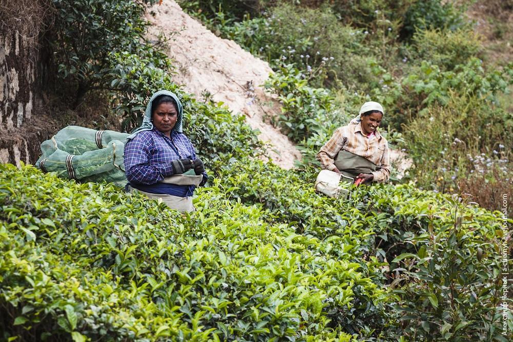teaplantation19.jpg