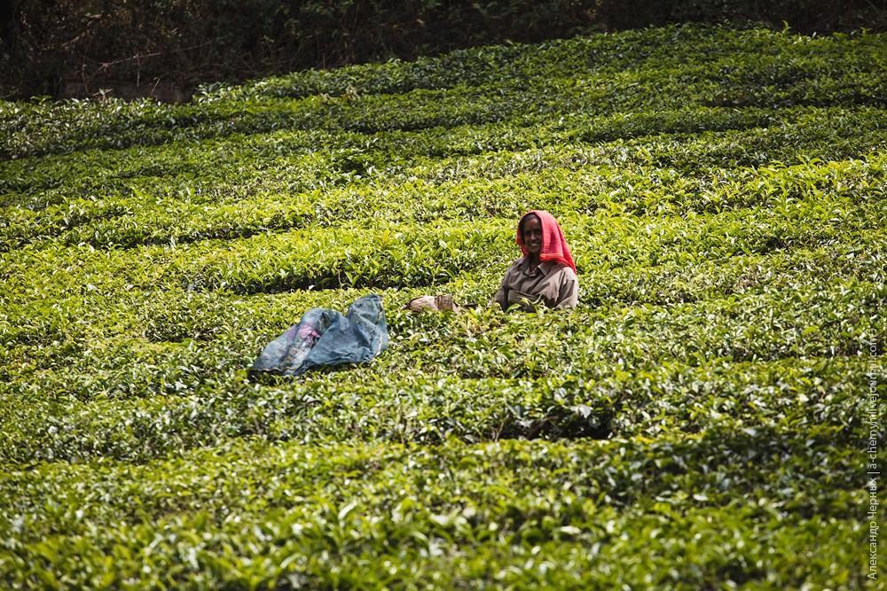 teaplantation21.jpg