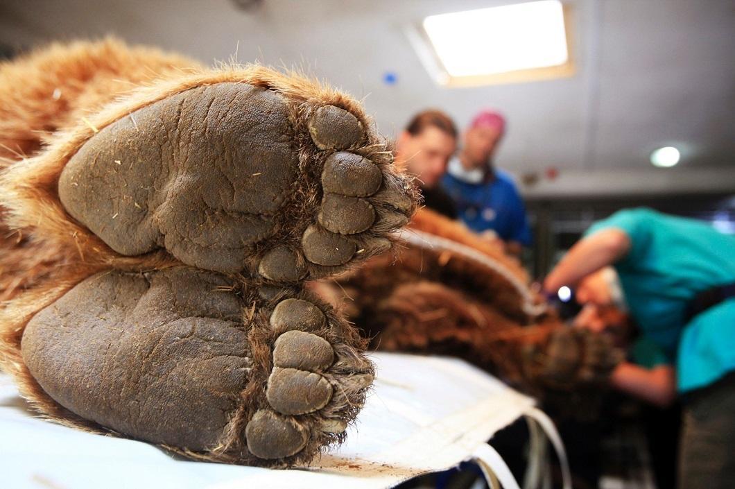 Медведь обследуется ветеринарами в