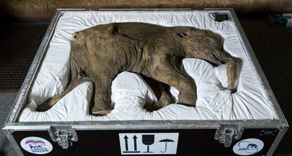42000-летний мамонтенок прибыл в лондонский Музей естественной истории