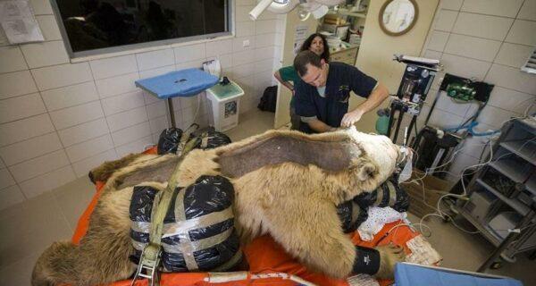 В Израиле впервые сделали операцию на позвоночнике медведю