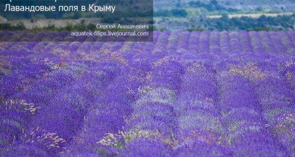 Крымский Прованс. Лавандовые поля вКрыму