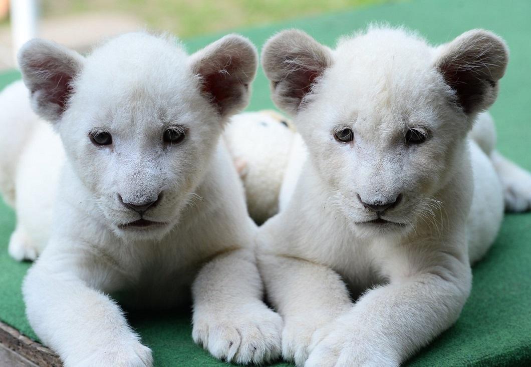 belye lvyata 2 Белые львята стали звездами частного зоопарка