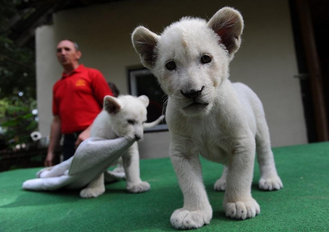 belye lvyata 7 Белые львята стали звездами частного зоопарка