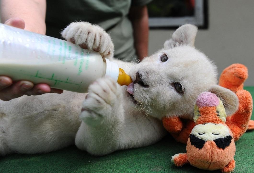 belye lvyata 8 Белые львята стали звездами частного зоопарка