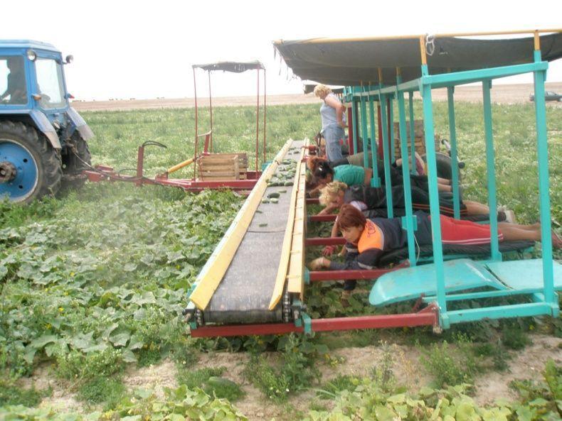 cucumbersharvest02 Сбор урожая огурцов по белорусски