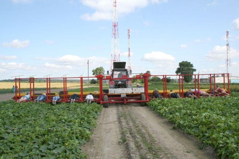 Cucumbersharvest06 сбор урожая огурцов по