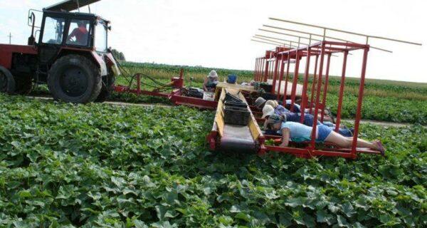 Сбор урожая огурцов по-белорусски