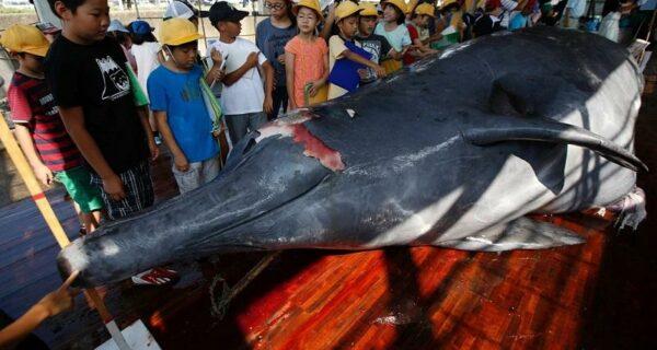 Японские китобои разделали кита перед толпой школьников