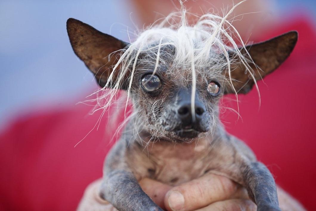 samaya urodlivaya sobaka v mire 1 Самая уродливая собака в мире 2014 года
