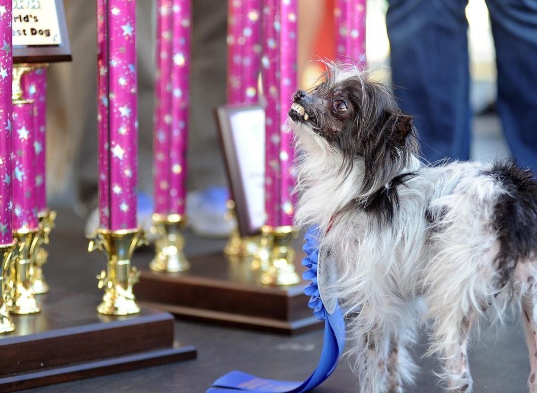 samaya urodlivaya sobaka v mire 12 Самая уродливая собака в мире 2014 года