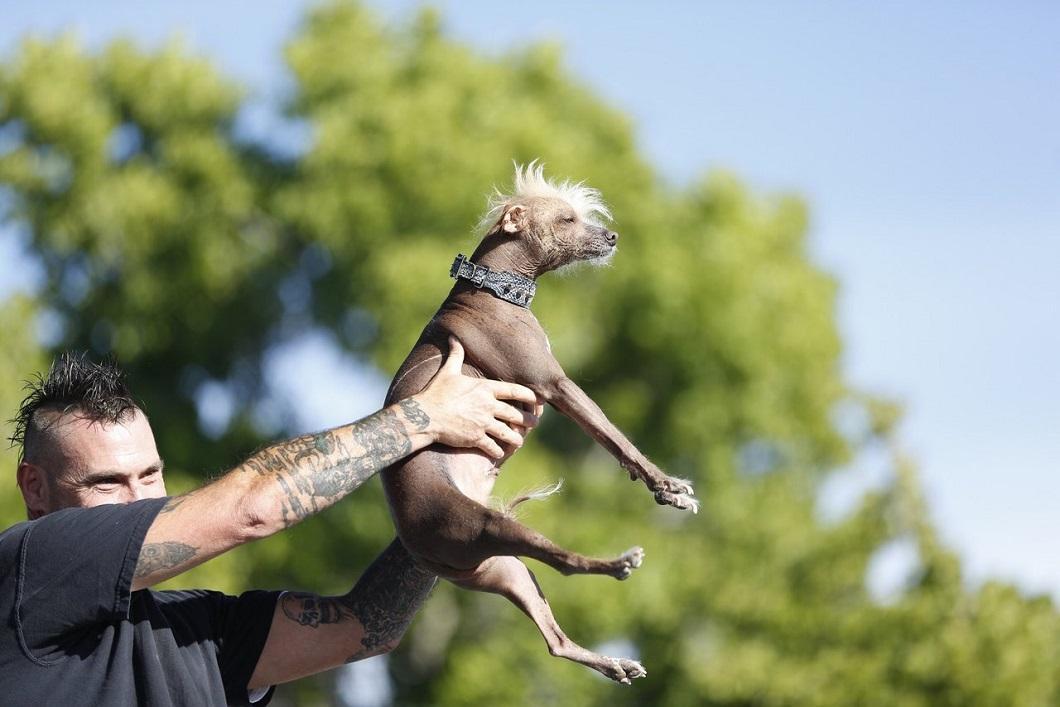 samaya urodlivaya sobaka v mire 4 Самая уродливая собака в мире 2014 года
